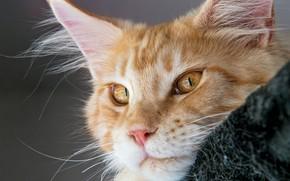 Обои кот, рыжий, мордочка, Мейн-кун, взгляд