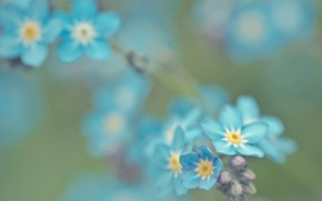 Картинка природа, растение, фокус, лепестки, размытость, незабудки