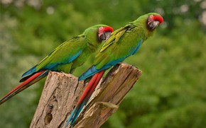 Картинка птица, перья, попугай, окрас, клювик