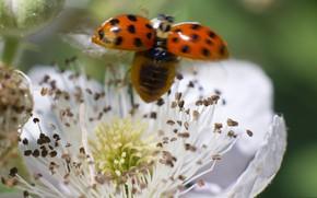 Обои цветок, природа, божья коровка, насекомое