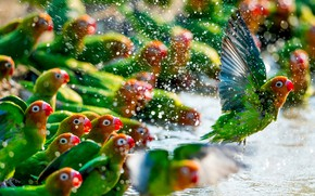 Картинка green, colors, colorful, red, animals, flying, yellow, water, wings, feathers, birds, beak, Parrots