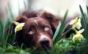 Картинка цветы, собака, нарциссы, Spring dreams