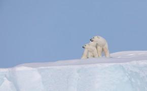 Картинка снег, фон, айсберг, медвежонок, детёныш, медведица, Белые медведи, Полярные медведи