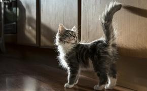Обои котёнок, хвост, пушистый