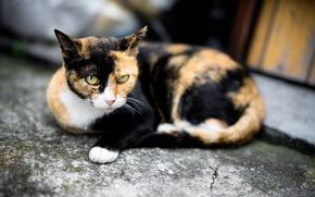 Обои кошка, глаза, взгляд