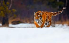 Обои тигр, зима, снег, молодой