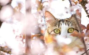 Картинка глаза, кот, вишня, дерево, весна