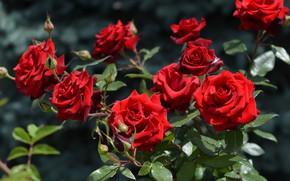 Картинка лето, цветы, куст, розы, бутоны