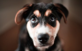 Картинка глаза, взгляд, друг, собака