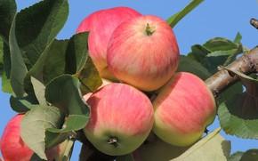 Картинка яблоки, август, яблоня