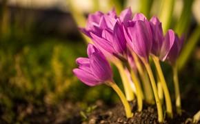 Картинка макро, земля, весна, крокус