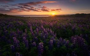 Картинка солнце, цветы, природа, вечер, Исландия, люпины