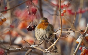 Картинка зима, ветки, ягоды, птица, робин