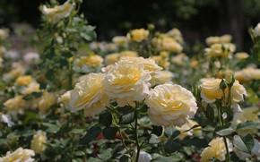 Картинка лето, солнце, цветы, розы, клумба