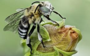 Картинка макро, пчела, бутон, насекомое
