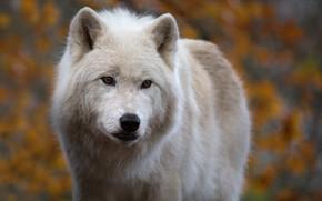 Картинка взгляд, морда, фон, волк, хищник, Арктический волк