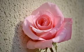 Картинка Rose, Розовая роза, Pink rose