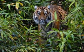 Обои дикая кошка, настороженность, заросли, суматранский тигр, наблюдение, внимание, хищник