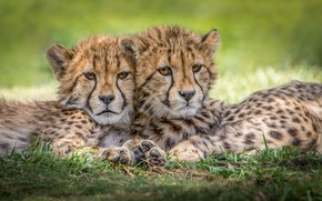 Картинка хищники, гепард, детеныши