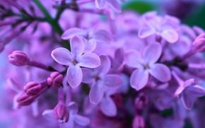 Картинка сирень, фиолетовый цвет, макро flowers природа