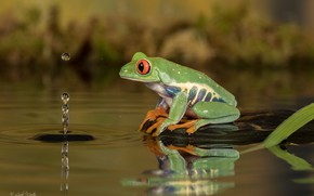 Обои лягушка, вода, капля