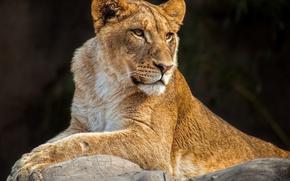 Картинка хищник, лежит, львица, дикая кошка, молодая