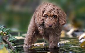 Картинка взгляд, вода, собака, Лабрадудль