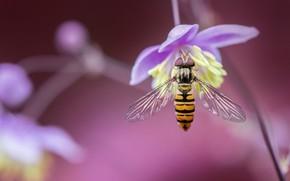 Обои цветок, Журчалка, Василистник, насекомое, макро, боке
