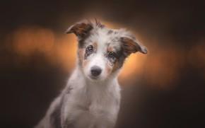 Картинка взгляд, фон, собака, щенок, мордашка, пёсик, Австралийская овчарка, Аусси