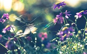 Картинка макро, цветы, природа, паутина, паук