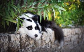 Картинка взгляд, друг, собака, Бордер-колли