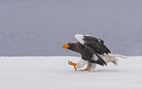 Картинка зима, снег, птица, хищник, Белоплечий орлан