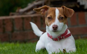 Картинка трава, взгляд, собака, щенок, ошейник, пёсик, Джек-рассел-терьер