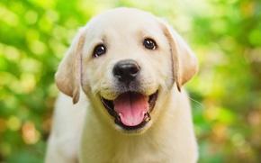 Обои зелень, язык, глаза, взгляд, зеленый, фон, щенок, мордашка, милашка, веселый, боке, ретривер