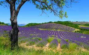 Картинка лето, трава, солнце, ветки, дерево, холмы, Франция, поля, лаванда, Puimichel