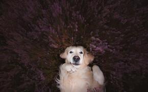 Картинка взгляд, морда, настроение, собака, лапы, лаванда, Голден ретривер, Золотистый ретривер