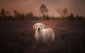 Картинка поле, собака, лаванда, Голден ретривер, Золотистый ретривер