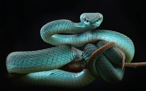 Обои змея, Белогубая куфия, Trimeresurus albolabris, категория ямкоголовые