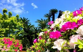 Картинка пальмы, рододендрон, азалия