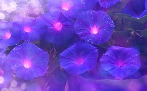 Обои листья, капли, цветы, природа, роса, фон, фиолетовые, вьюн, боке, лиана, ипомея