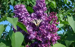 Картинка бабочка, май, сирень