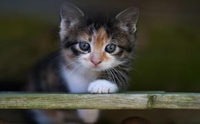 Обои кошка, кот, взгляд, котенок, фон, портрет, размытие, малыш, мордочка, доска, котёнок, пестрый