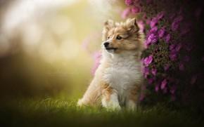Картинка цветы, портрет, собака, щенок, Шелти, Шетландская овчарка
