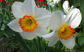 Картинка весна, нарциссы, апрель