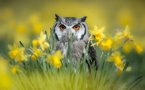 Картинка цветы, природа, сова, птица, весна, нарциссы, птицы мира