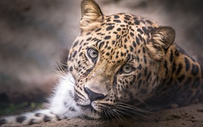 Картинка взгляд, портрет, голова, леопард