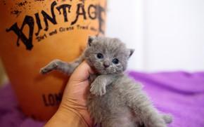 Картинка кошка, котенок, серый, фон, сиреневый, надпись, рука, глазки, лапки, маленький, малыш, мордочка, милый, ткань, горшок, …