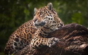 Обои дикая кошка, Ягуар, хищник, портрет