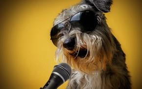 Картинка жёлтый, фон, юмор, очки, микрофон, певец, поёт, Шнауцер