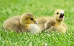 Картинка желтые, молодые, птенцы, перышки, гусята